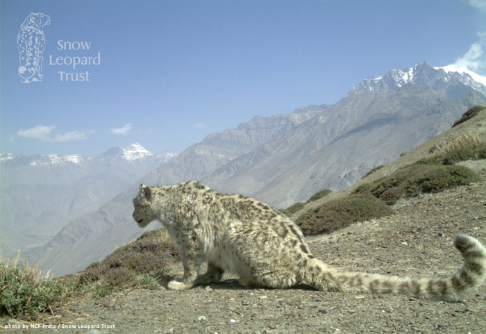 snow leopard conservation
